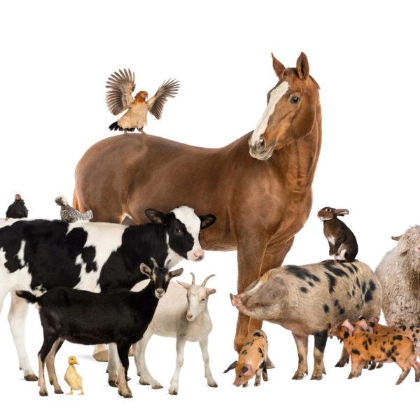 Конь, теленок, свинья. овца, курица и кролик