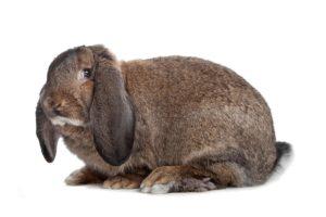 Кролик немецкий баран